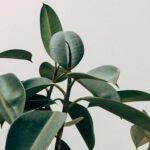 Prachtige citroenboom