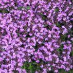 Past de Thymus serpyllum in jouw tuin?